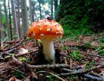 fly agaric by Mittelfranke