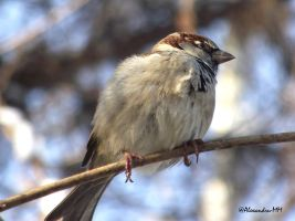 Passer domesticus by Alexandru-MM