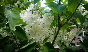 White Lilacs by mirroreyes1