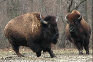 Bison Playing by PBPhoenix