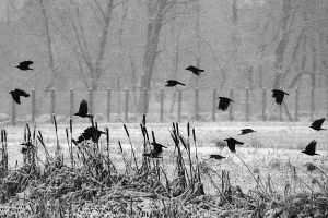 snowing on crows by organicvision