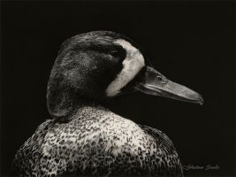 Black and White Blue-wing - Scratchboard by ShaleseSands