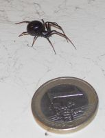 False widow with Euro by setanta5