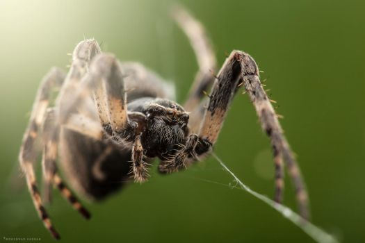 Furrow Spider by MohannadKassab