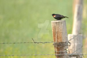 Red Winged Black Bird by Nestor2k