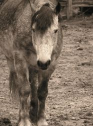 sad grey horse by equusstock