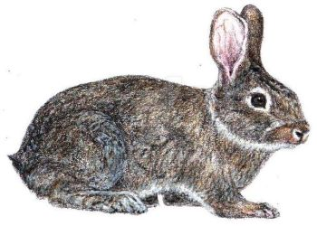 Hare ( coloured pencils) by JarmilaH