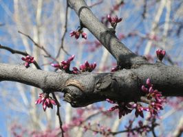 Redbud Branch by silentsnowfall