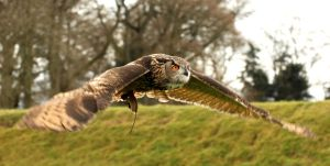 Wingspan - European Eagle Owl by Shadow-and-Flame-86