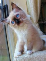 Confused blue eyed kitten by Carameldreamsx