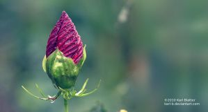 Red Hibiscus - Widescreen by Karl-B