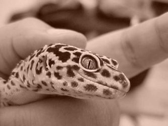 Leopard Gecko I by sweet-choia