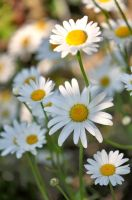 Another Marguerites by OfTheDunes