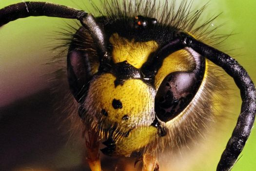 Common Wasp (vespula vulgaris) by Azph