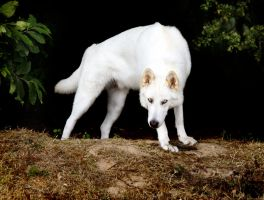 Northern Inuit Dog 2 by genisisone