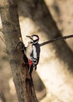 A woodpecker by Bozzenheim