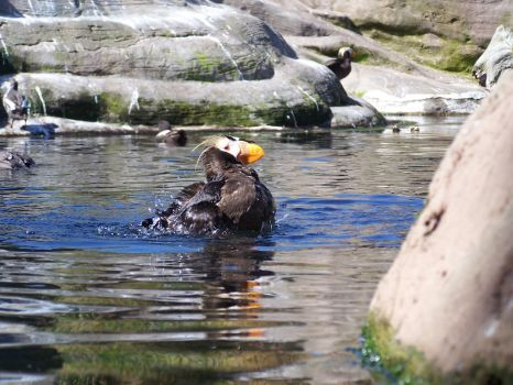 Tufted Puffin 6 by ArtbyMom