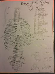 Anatomy Drawing. by malthehippy