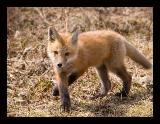 Fox Trott by Easterncurrents