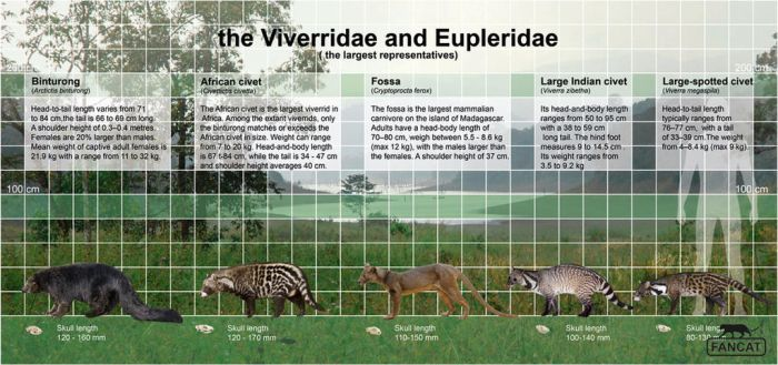 the Viverridae and Eupleridae (fancat) by bigfancat