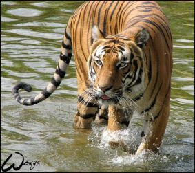 Malayan tiger loves water by woxys