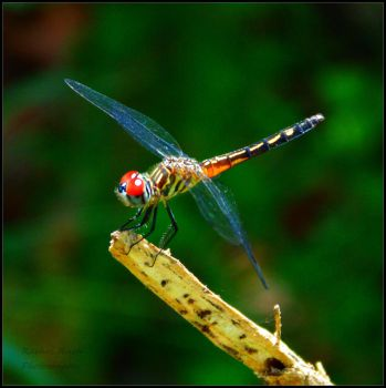 Dragonfly 7 by chained2stone