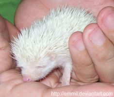 Baby hedgehog by emmil