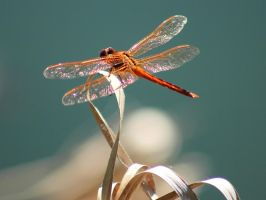 Dragonfly by Kirs10c