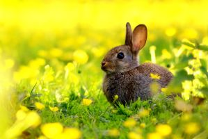 Wild rabbit by Svennovitch
