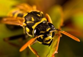 Wasp closeup by sKodOne