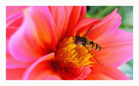 Hoverfly by inmc