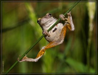 Gray Tree Frog 40D0039499 by Cristian-M
