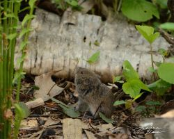 Vole by themanitou