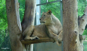 Zoo Augsburg - Lion by Delragon