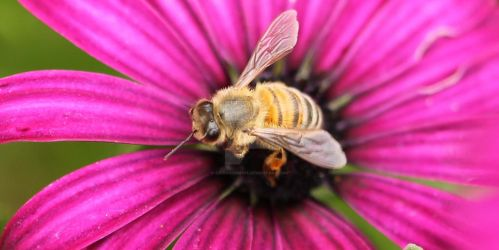 Bee on African Daisy  by Cairngorm747