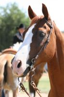 Chestnut AQHA Quarter Horse Champion, Headshot by HorseStockPhotos
