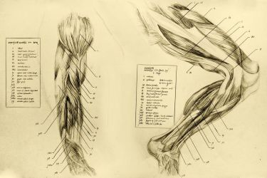 anatomical drawing 06 muscles of the leg by niitsvee