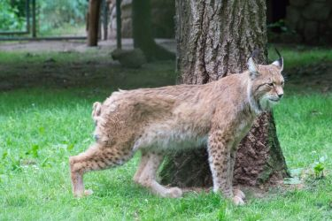 lynx 02 by DeathProof7891