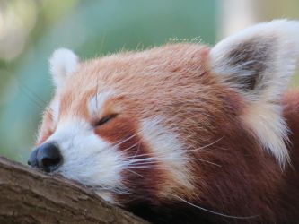 Another sleepy red panda by camelopardalisinblue