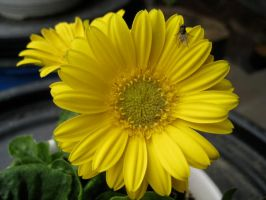 Yellow flower with flies by dave87
