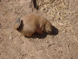 Prairie Dog Two by itsayskeds