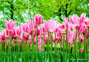 Pink tulip forest by joerimages