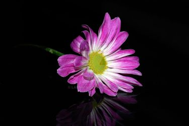 Flower on Glass by Larah88