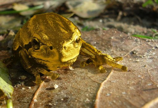 Golden Frog by Robotlick