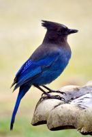 Steller's Jay by AzureWindProductions