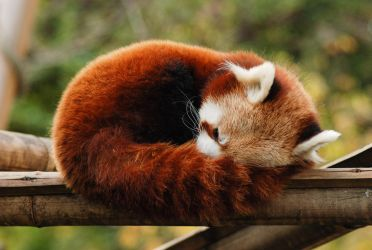 Red Panda... by Breizhbleiz