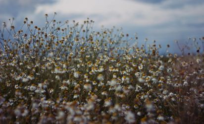 are you chamomile flowers? by molnar86