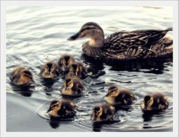 Last Ducklings by barefootphotos