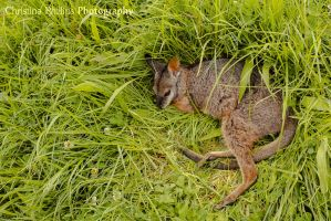 Red-necked Wallaby-1691 by Christina-Phillips