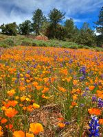 Lupine and Poppies II by ernieleo